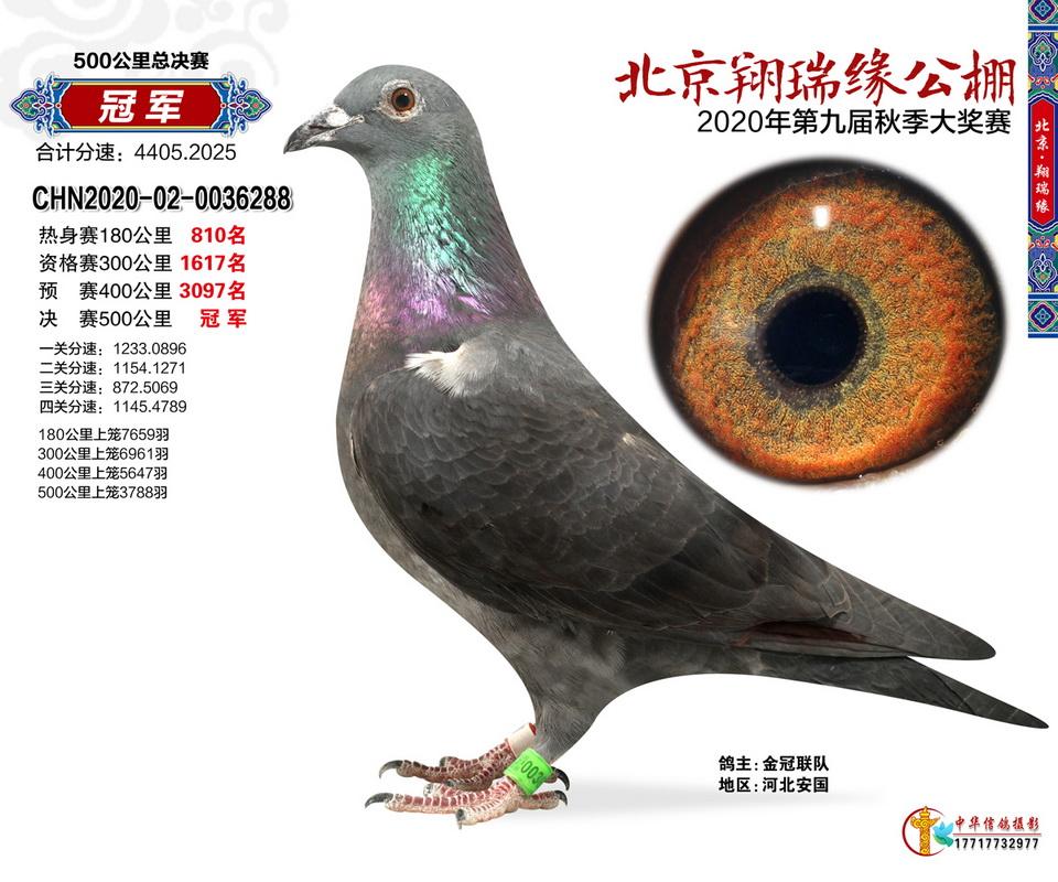一羽黑鸽逆袭夺冠 实力京城鸟就在北京翔瑞缘