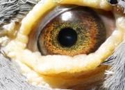 鸽眼的奥秘:这些才是真的好鸽眼!