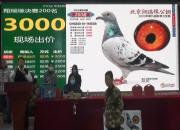 下午直播:北京翔瑞缘获奖鸽同步拍卖