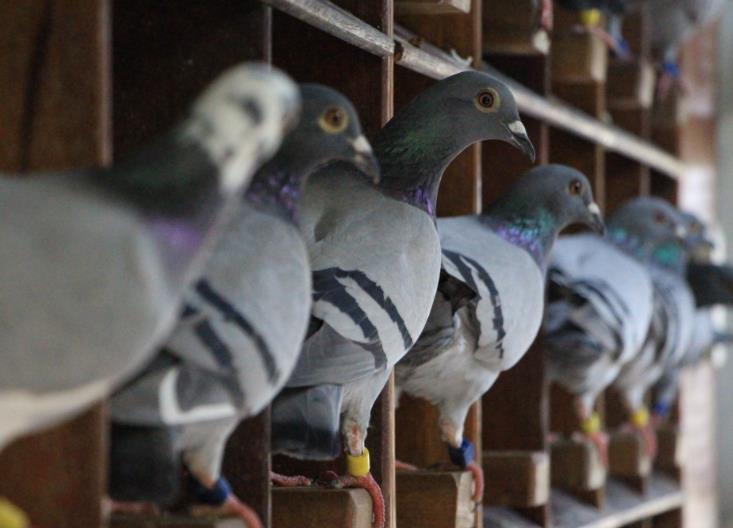 泰国芭提雅第二关:中国鸽友豪横夺冠