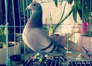 特等奖鸽子已收到 感谢北京三宝鸽舍!