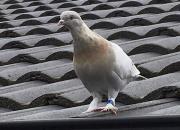 美国赛鸽飞越万里 澳大利亚当局:不飞回去就杀掉