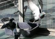 开尔:育种期种鸽棚不能少的东西