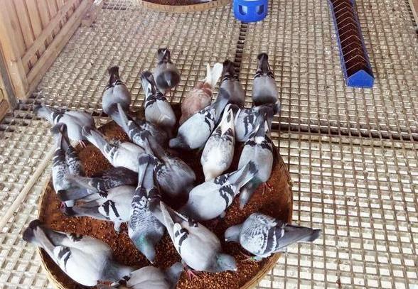 没有好鸽子 喂满汉全席也不一定飞