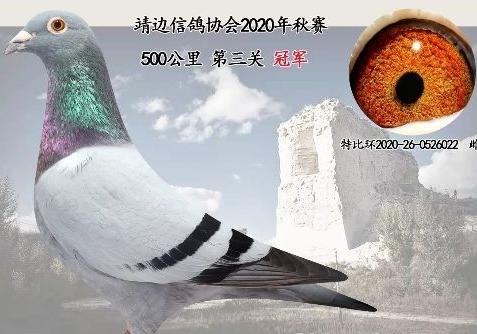 鸽友:信鸽负重 训出三羽冠军鸽?
