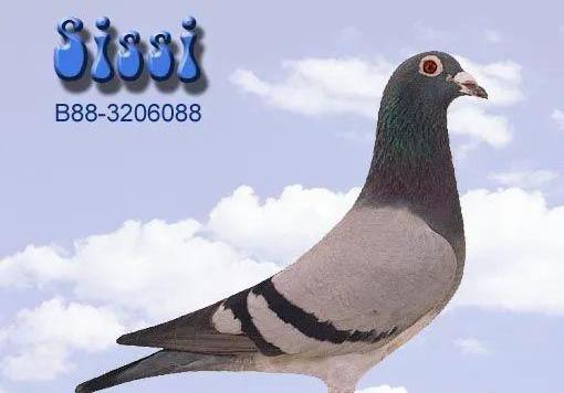 越漂亮的鸽子越爱丢?