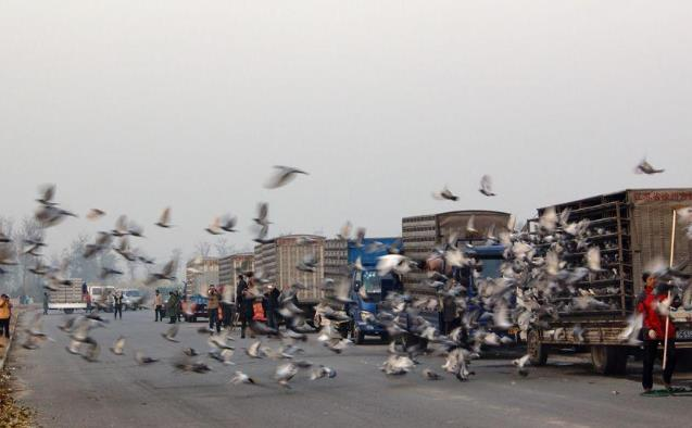 全国鸽界联动 把千公里比赛捡起来
