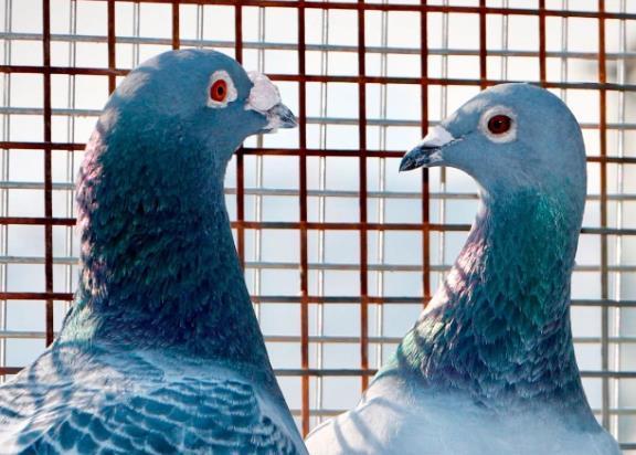 你引进最发挥的种鸽 花了多少钱?