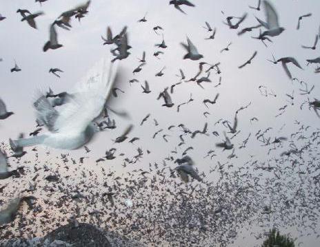 惩处力度太小 致使鸽界作弊造假泛滥?