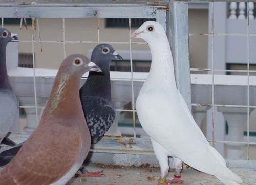 终极玩鸟理念――什么鸽子可以
