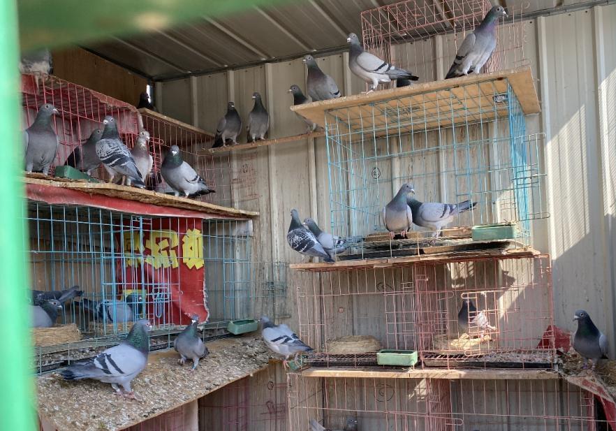 大舅与他家楼顶的一百多只鸽子