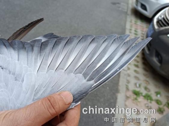 速度鸽羽翼长啥样?围观北京西城首关奖鸽照片