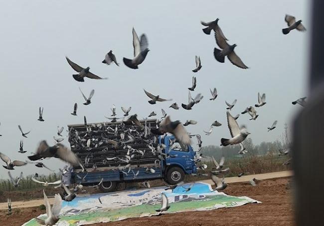 唐山阳光春季首关512公里 五成鸽子滞归