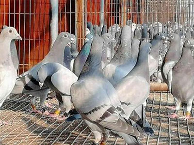 为啥你的鸽子不进奖?来看鸽子快速入棚攻略