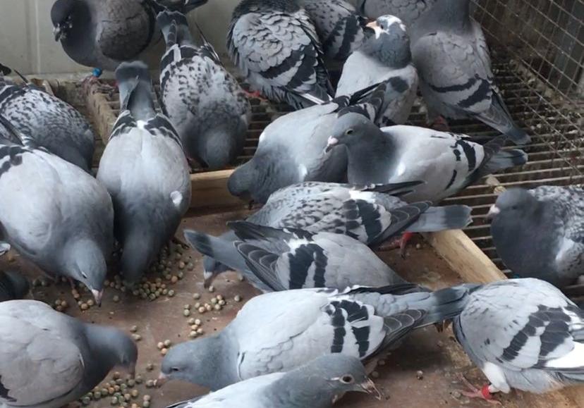 幼鸽的好习惯  您给养成了吗?