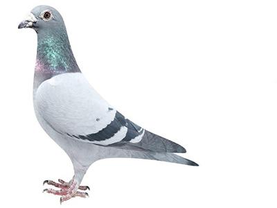 中国赛鸽距离世界最强还有多远?