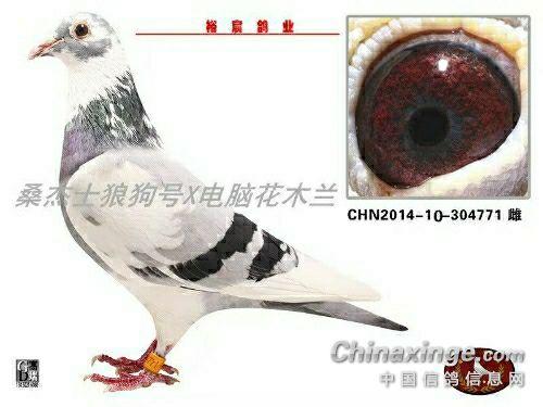 中国人的鸽子