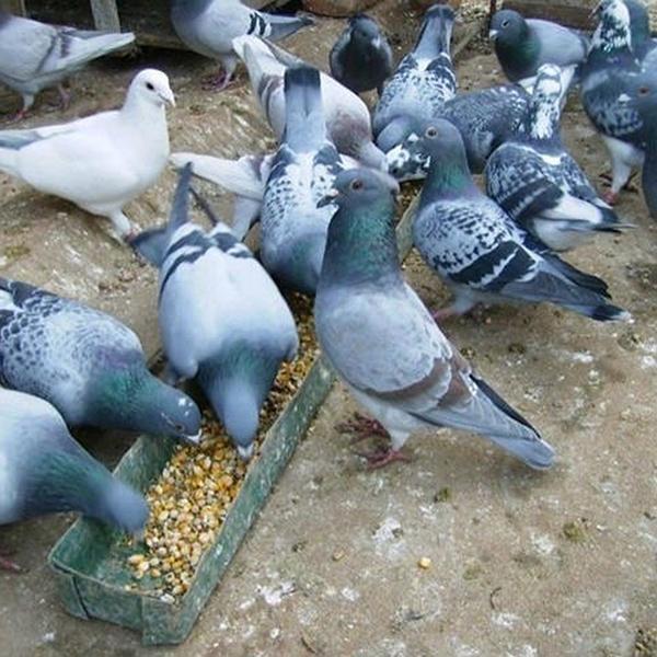 有点意思 四川乐山的土鸽比赛