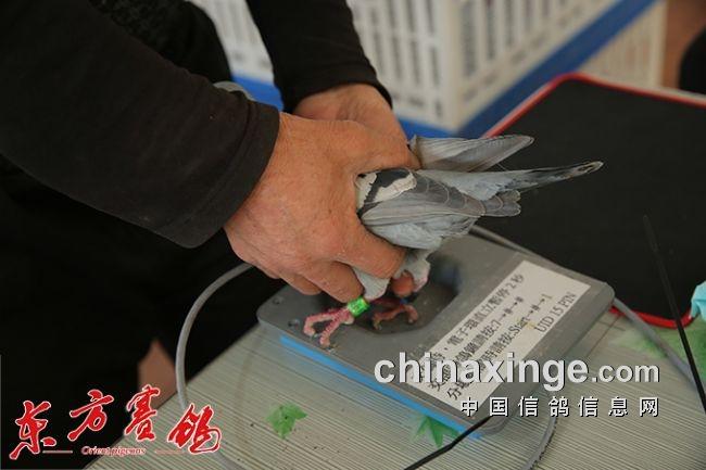 天津开创第三关500公里11日在河南原阳县开笼