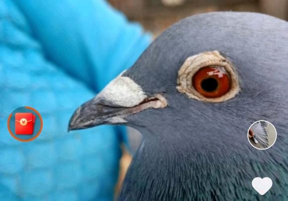 断趾鸽一年后逃笼归来 直上200公里不死必归