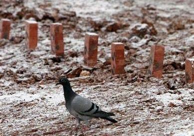 杂记:汶川地震那年 印在脑海里的鸽子记忆