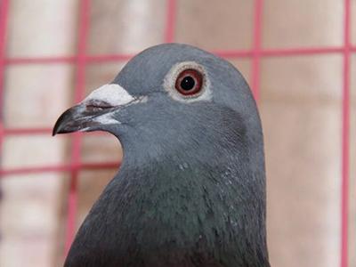 盗窃七只鸽子 换来一年徒刑