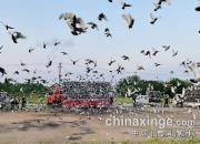 武汉国家赛:天津市当日归两羽验鸽图片