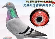 """一路拼搏逆袭成王 安徽阳光森林这羽鸽子""""太励志"""""""