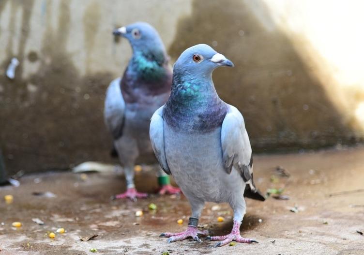 鸽界是一个包容性很大的小世界