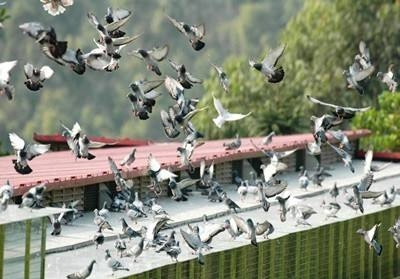"""鸽子摄影师上线 带你体验""""飞翔""""视角"""