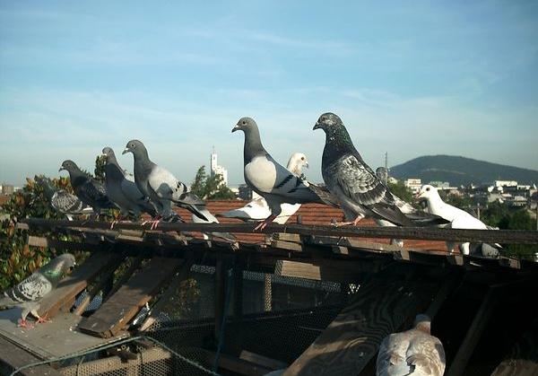 开尔春棚真收不上鸽子了?