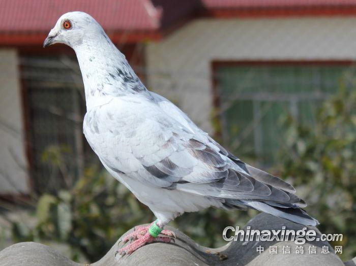 你养信鸽的初衷是什么?