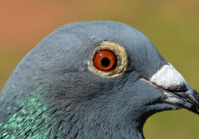 养鸽方法五花八门 跟风操作害人不浅
