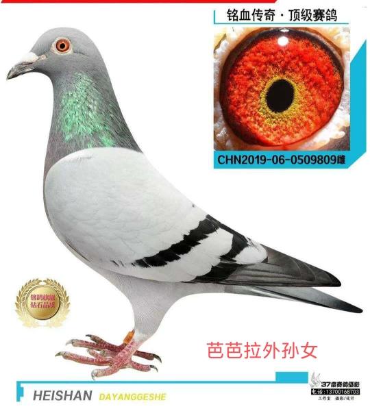 按外貌特征选鸽准确吗?