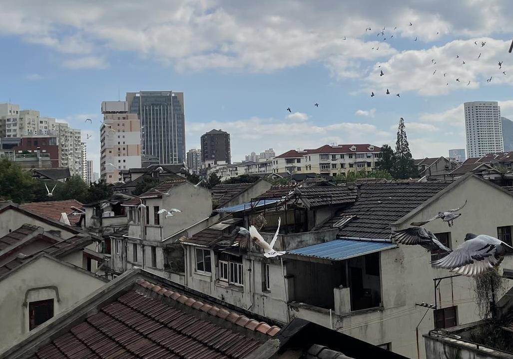 上海:遇旧改有温度 百余信鸽赛后将搬家