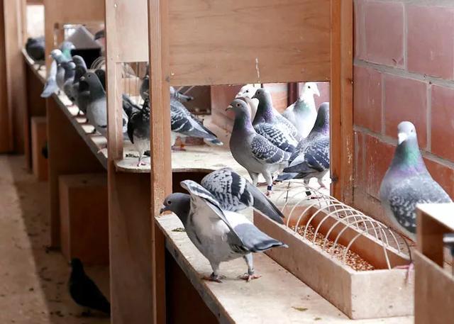 养鸽要育系 创新 科学