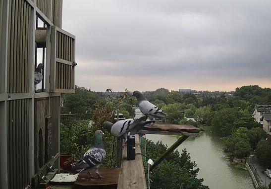 有多少人真的能看出来别人的信鸽?