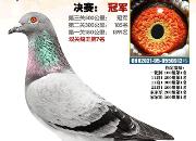 26日直播:有冠军也有鸽王!内蒙古康鑫获奖鸽同步拍卖