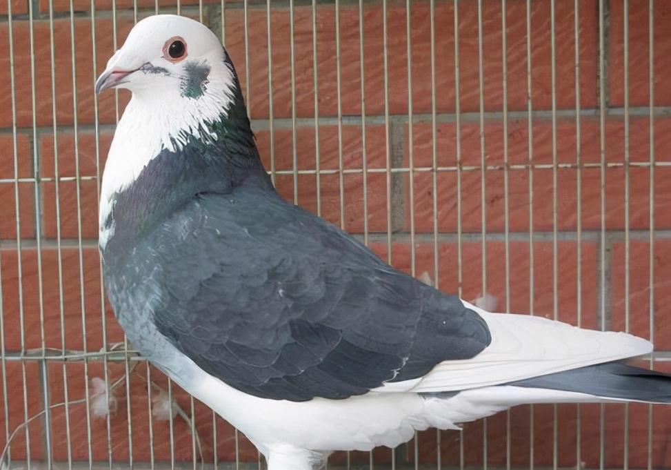 大尾巴赛鸽能不能做种鸽?