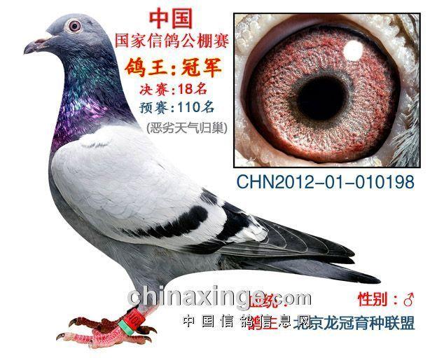 2012信鸽冠军图片 冠军信鸽图片 冠军信鸽眼睛图片