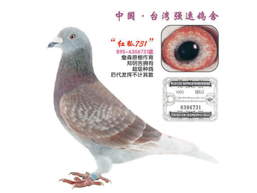 詹森红狐信鸽翅膀_詹森红狐:羽色品系传奇的发端(图)-中国信鸽信息网
