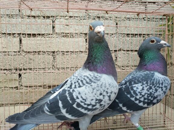 养鸽子的方法_怎样养鸽子-
