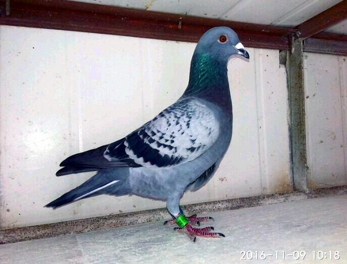 雨点黄眼雄鸽 0124732 -郑居科的网络日记本图片