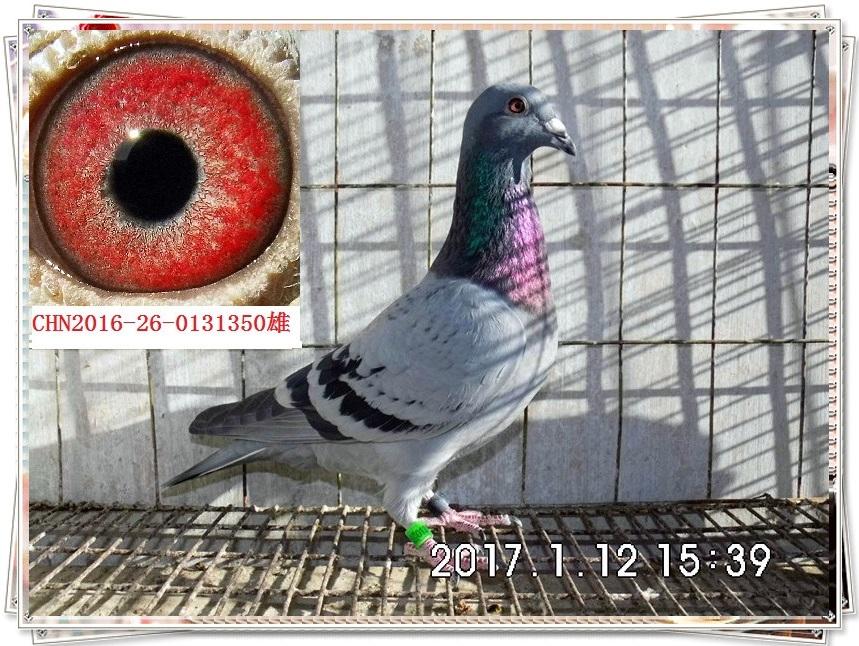 雨点雄配雨白条雌作出的瓦灰砂眼雄 戴了枚旧足环 -郑居科的网络日记图片