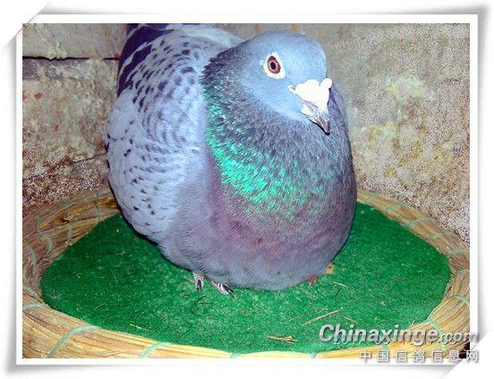 见小鸽子喽 图 -郑居科的网络日记本图片