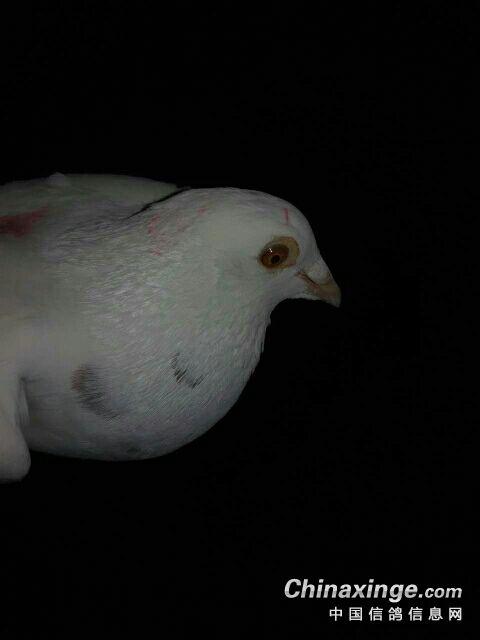 一只白鸽子图片