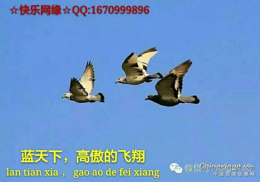 鸽玩得是心情,人人都想把鸽飞 沧北爱羽