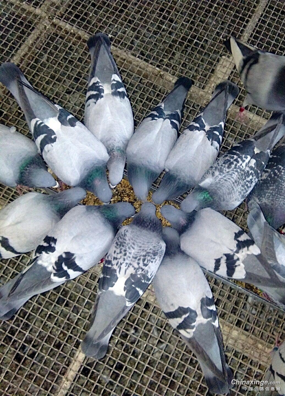 狮子鸽动物鸟鸟类1037_1440竖版竖屏大象鸽子熊猫出来打架图片