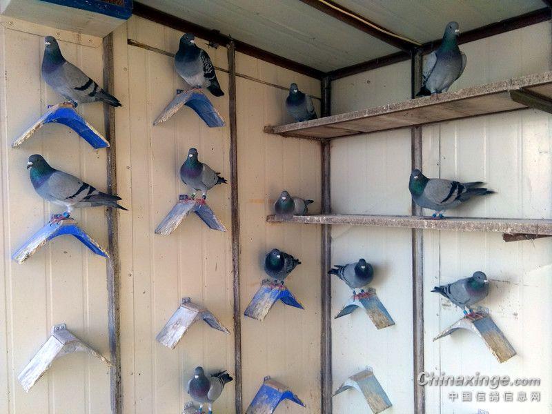 今天有重要事情需出門,早晨走時,給歸巢鴿子兌好了飲水,打開了掃描板,也建立了一個訓放檔,由于當時匆忙,把訓放距離設成了20km,參訓鴿也拉入了所有建檔資料鴿30羽,其實今天參加200km訓放的鴿子是10羽。然后看看空中還在家飛的鴿子們,我也就急急忙忙出門了。   下午五點多回家進門,第一件事就是上樓查看鴿子的歸巢情況,瞄了一眼掌中寶,歸巢鴿顯示30羽。第一羽歸巢顯示09:49分,最后一羽歸巢顯示10:18分,10羽鴿子不到半小時全歸齊。其實,這也在我的預料當中,因為在300km以內,想丟鴿子確實有些難