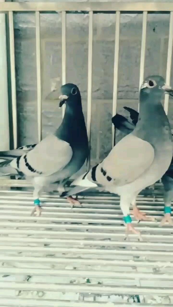 明年春棚的3羽小鸽子 欢迎评